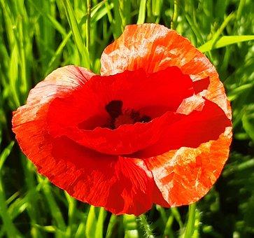 Poppy, Flower, Red, Nature, Poppies