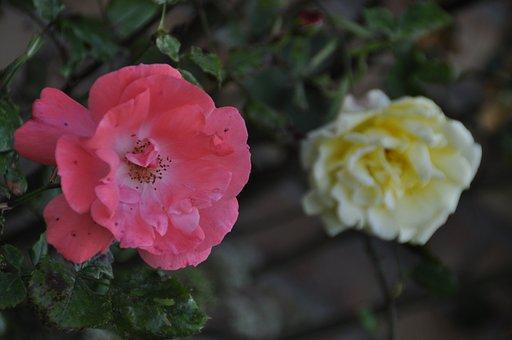 Roses, White, White Rose, Red Rose, Garden, Plant