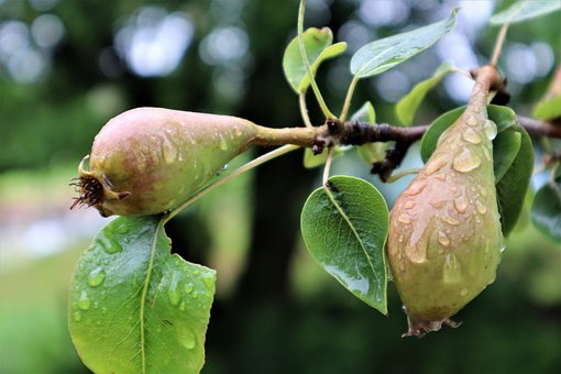 Pears, Fruit, Fruit Tree, Rain, Wet, Drip, Raindrop