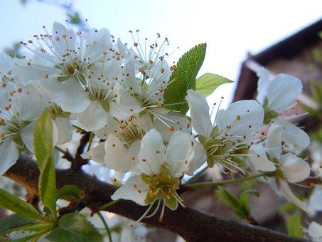 Bloom, Plum, Flower, Spring, Nature