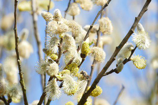 Willow Kittens, Bloom, Spring, Branches, White, Bush