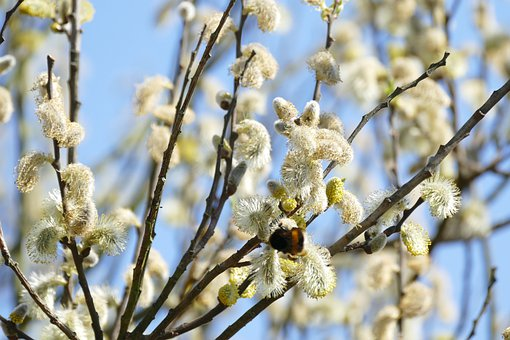 Willow Kittens, Bloom, Spring, Branches, White, Bush