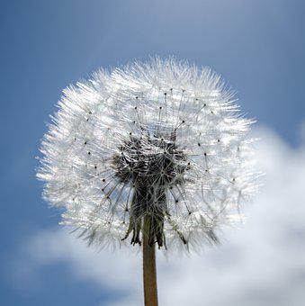 Dandelion, Seeds, Sky, Blossom, Fluffy, White, Pollen