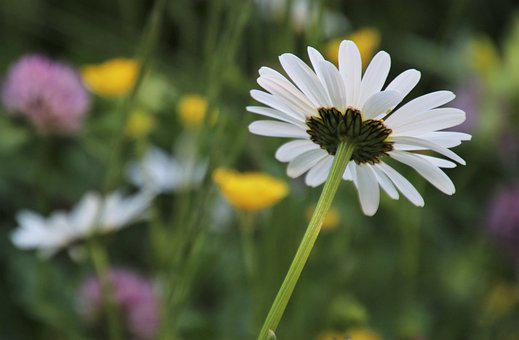 Chamomile, Biel, Flourishing, The Petals, A Postcard