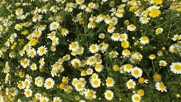 Flower, Seasonal, Glebionis Coronaria