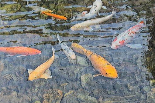 Koi, Fish, Japanese, Carp, Koi, Koi, Koi
