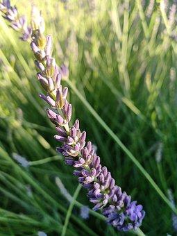 Lavandula Intermedia 'dutch, Lavender, Aar, Flower