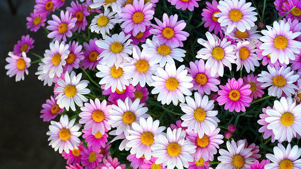Cape Basket, Flower, Osteospermum, Blossom, Bloom
