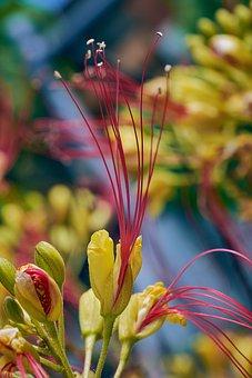 Caesalpinia, Bigotillo, Garden, Petals, Flowers, Red