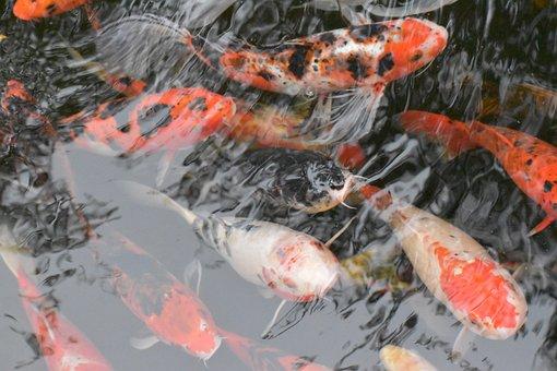 Koi, Fish, Carp, Pond, Swim, Gray Fish, Gray Fishing