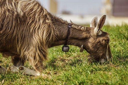 Goat, Toggenburg Goat, Mammal, Graze, Grass, Farm