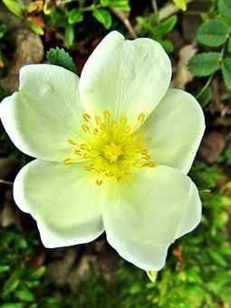 Wild Rose, Burnet Saxifrage Rose, Flower, Rose, Spring