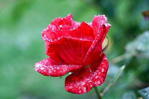 Rose, Red, Blossom, Bloom, Romance, Rose Bloom, Beauty