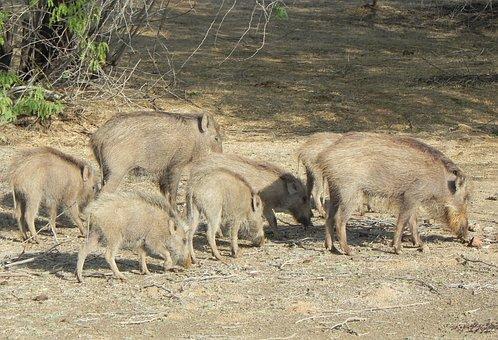 Boar, Indian Boar, Sus Scrofa Cristatus, Wild Boar