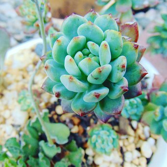Succulent, Echeveria, Plant, Nature, Green, Garden