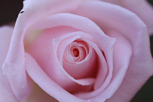 Rose, Pink, Up, Close, Isolated, Rosa, Nobody, White