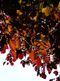 Copper Beech, Leaves, Purple Beech, Book