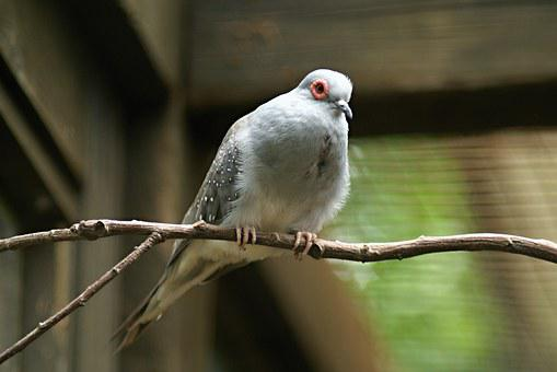 Diamond Dove, Zoo, The Zoological Garden, Deep N