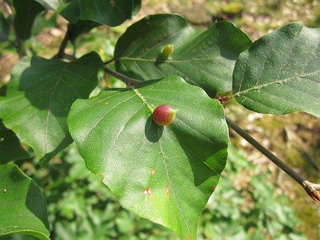 Fagus Sylvatica, European Beech, Common Beech, Leaves