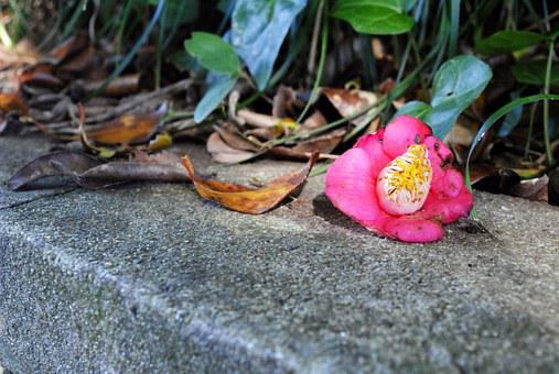 Camellia Flower, Leaves, Fallen Flowers, Fallen Shoes
