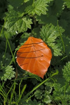 Beech Leaf, Fall Color, Brown, Withered, Fallen, Autumn
