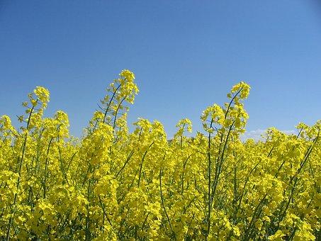 Oilseed Rape, Flowers, Field, Bloom, Landscape