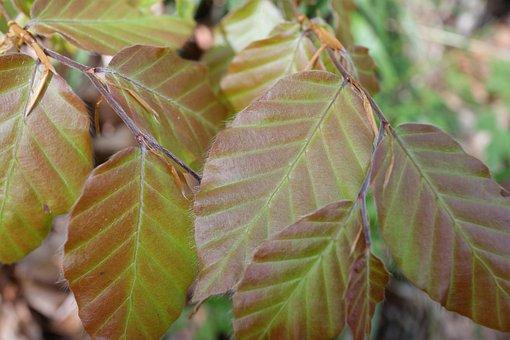 Beech, Leaf, Spring, Forest, Nature, Leaves, Plant