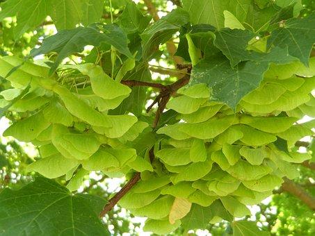 Maple, Infructescence, Fruits, Tree, Leaves