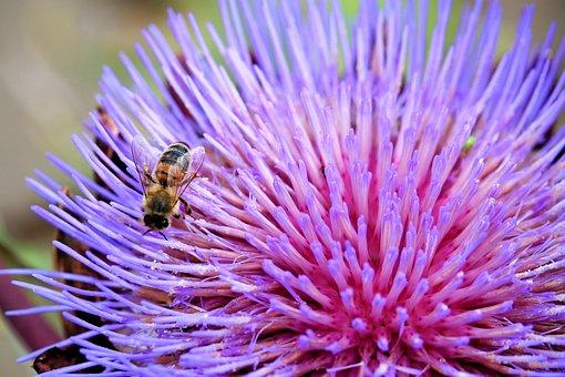 Artichokenblüte, Blossom, Bloom, Insect, Bee, Purple