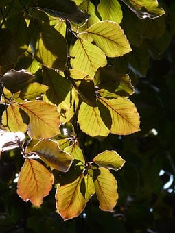 Copper Beech, Purple Beech, Book