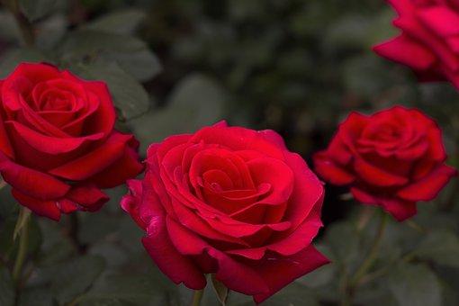 Rose, Red, Vibrant, Flower, Red Roses, Love, Romance