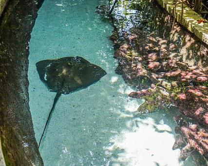 Stingray, Water, Marine, Underwater, Tropical, Nature