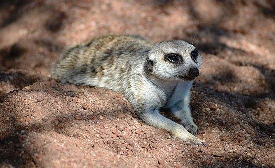 Meerkat, Animal, Zoo, Nature, Melbourne, Melbourne Zoo