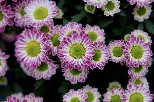 Chrysanthemum Morifolium, Purple, Flower