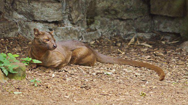 Fossa, Madagascar, Endangered, Mammal, Predator