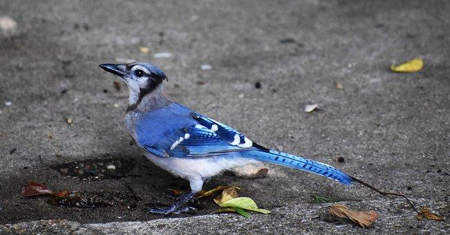 Blue Jay, Bird, Blue-black, Jay, Songbird, Wildlife