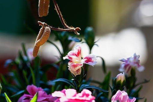 Carnation, Corkscrew Willow, Blossom, Bloom, Flora