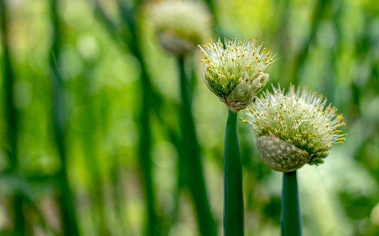 Onion, Flowers, Spring, Garden, Tenderness, Bloom