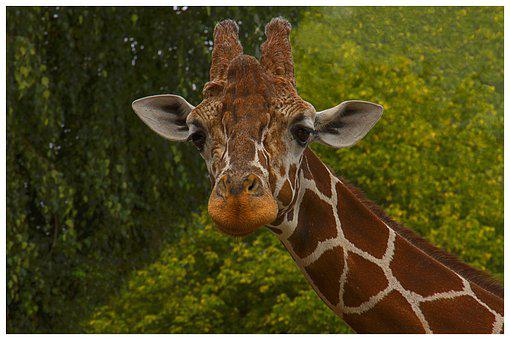 Giraffe, Animal, Nature, Mammal, Safari, African