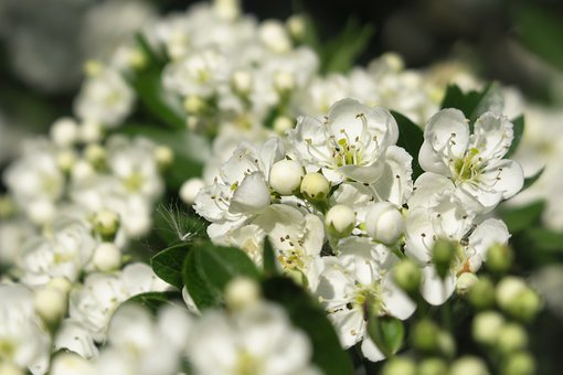 Hawthorn, Hawthorn Flower, Flowers