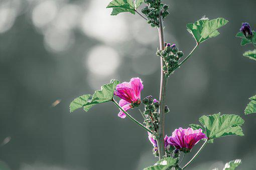 Mallow, Backlighting, Flower, Sun, Romantic, Blossom