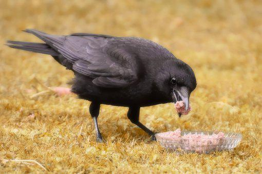 Raven Bird, Crows Bird, Eat, Nature, Feather, Foraging
