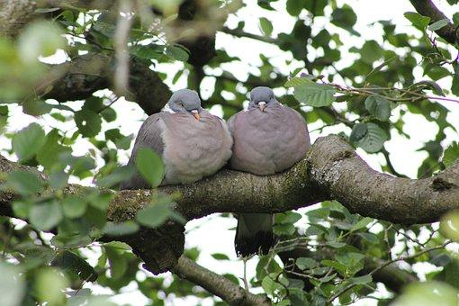 Bird, Pigeon, Wood Pigeon, Together, Pair, Friends