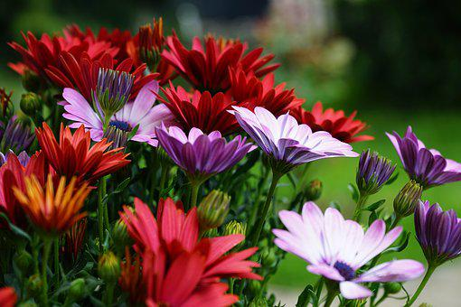Flowers, Spring, African Daisy, Colorful
