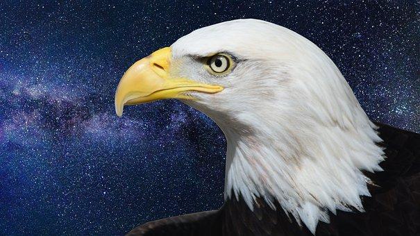 Bald Eagle, Adler, Raptor, Bird Of Prey, Bill, Bird
