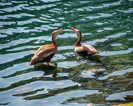 Duck, Black-bellied Whistling Duck, Water, Lake