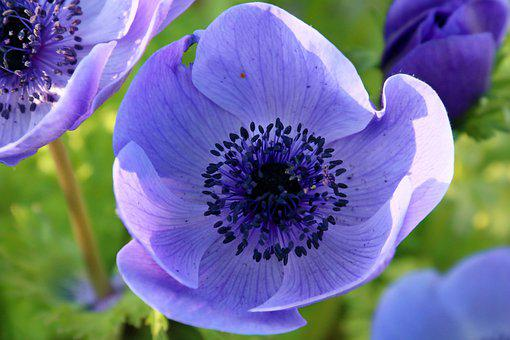 Flower, Peony, Violet, Trio, Heart, Pistils, Petals