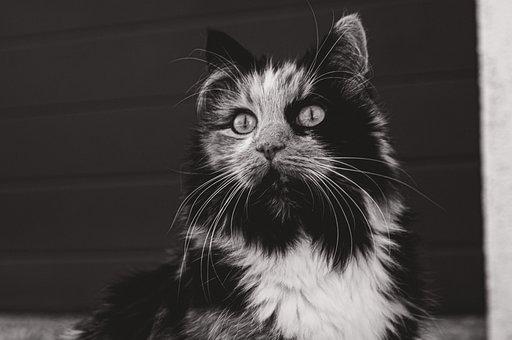 Cat, Black And White, Fluffy, Feline, Tomcat, Meow
