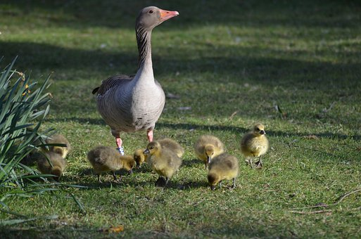 Grey Geese, Grey Goose Family, Graugans Chick