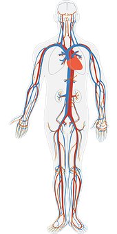 Human Body, Circulatory System, Circulation, Blood